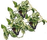 Efeutute, Scindapsus, (Epipremnum aureum) Sorte: Marble Queen, weiß-grünes gezeichnetes Blattwerk, rankend, Ampelpflanze, luftreinigend (3er Set im 12cm Topf)