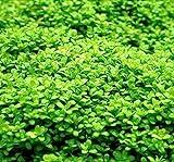 *Tropica 1-2-GROW! Kuba Zwerg-Perlenkraut/Hemianthus callitri. Cuba