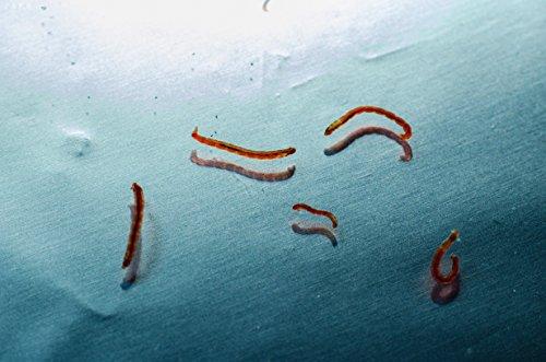 WFW wasserflora 2X 90 ml Lebendfutter, Lebende Rote Mückenlarven/Chironomus spec. - große Beutel