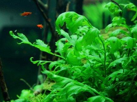 XL In-Vitro Kongo Wasserfarn/Bolbitis heudelotii