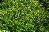 *Tropica 1-2-GROW! Kleines Teichlebermoos/Riccia fluitans