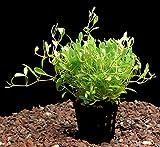 Zoomeister - 5 Töpfe Australisches Zungenblatt (Glossostigma elatinoides)