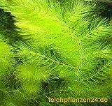 1 Bund Hornkraut, Ceratophyllum demersum, fr Teich und Aquarium