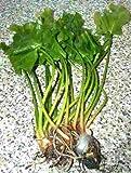 *Mühlan Wasserpflanzen 1 grüne japanische Teichrose, Nuphar Japonica