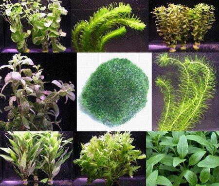 WFW wasserflora Anti-Algen-Set, schnellwachsene 5 Arten + 1 Mooskugel (ca. 5 cm, 8-15 Jahre alt)