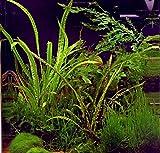 WFW wasserflora In-Vitro Grasblättrige Wasserkelch/Cryptocoryne crispatula