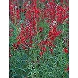 Blumixx Stauden Lobelia cardinalis - Kardinals-Lobelie, im 0,5 Liter Topf, leuchtend rot blühend