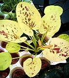 WFW wasserflora Yellow Sun Schwertpflanze/Echinodorus Cord. Yellow Sun
