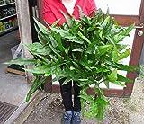 *WFW wasserflora Super große, buschige MUTTERPFLANZE Javafarn/Microsorum pteropus