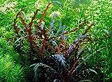 WFW wasserflora In-Vitro Fiederspaltiger Wasserfreund/Hygrophila pinnatifida
