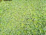 Muschelblume Pistia stratiotes 10 Stc. 6-10cm Schwimmpflanze Aquarium Teich Wassersalat