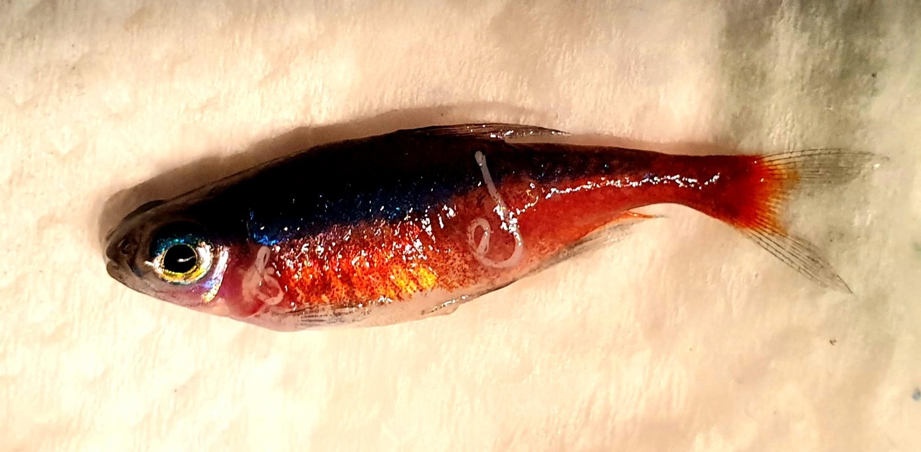 Am kopf hat beule fisch Histamin