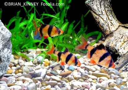 Fünfgürtelbarben im Aquarium