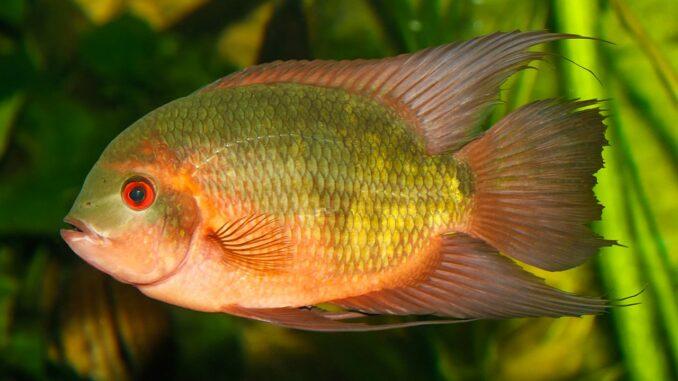 Smaragdbuntbarsch im Aquarium