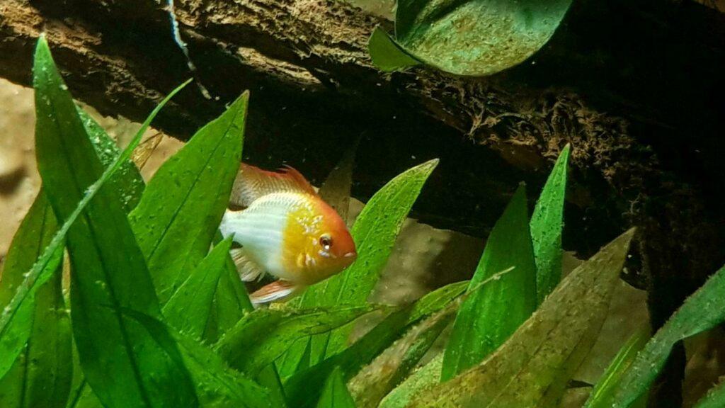 Gold Schmetterlingsbuntbarsch