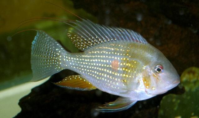 Heckels Buntbarsch im Aquarium
