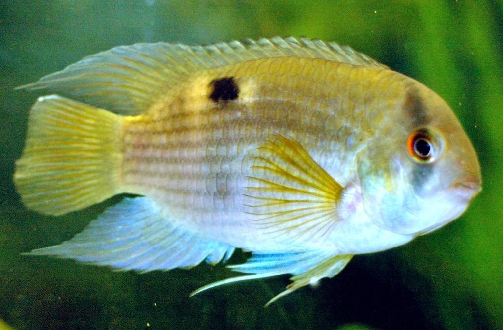 Maronibuntbarsche im Aquarium