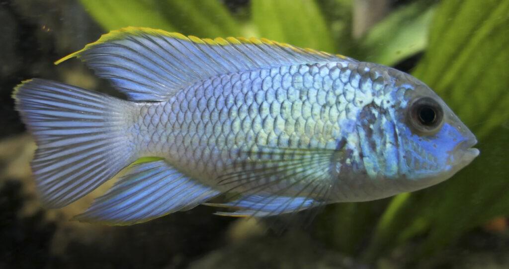 Blaupunktbuntbarsche im Aquarium