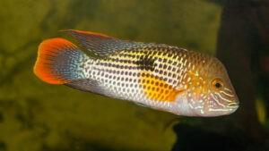 Goldsaumbuntbarsch im Aquarium