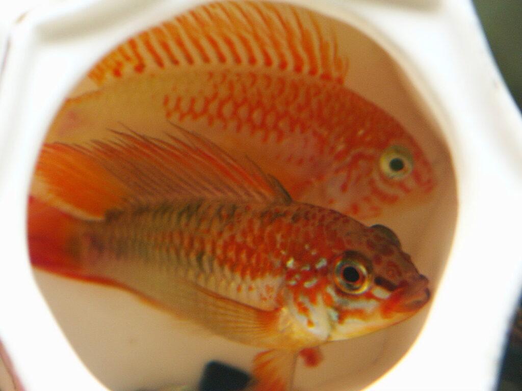 Schwarzkehl-Zwergbuntbarsch im Aquarium