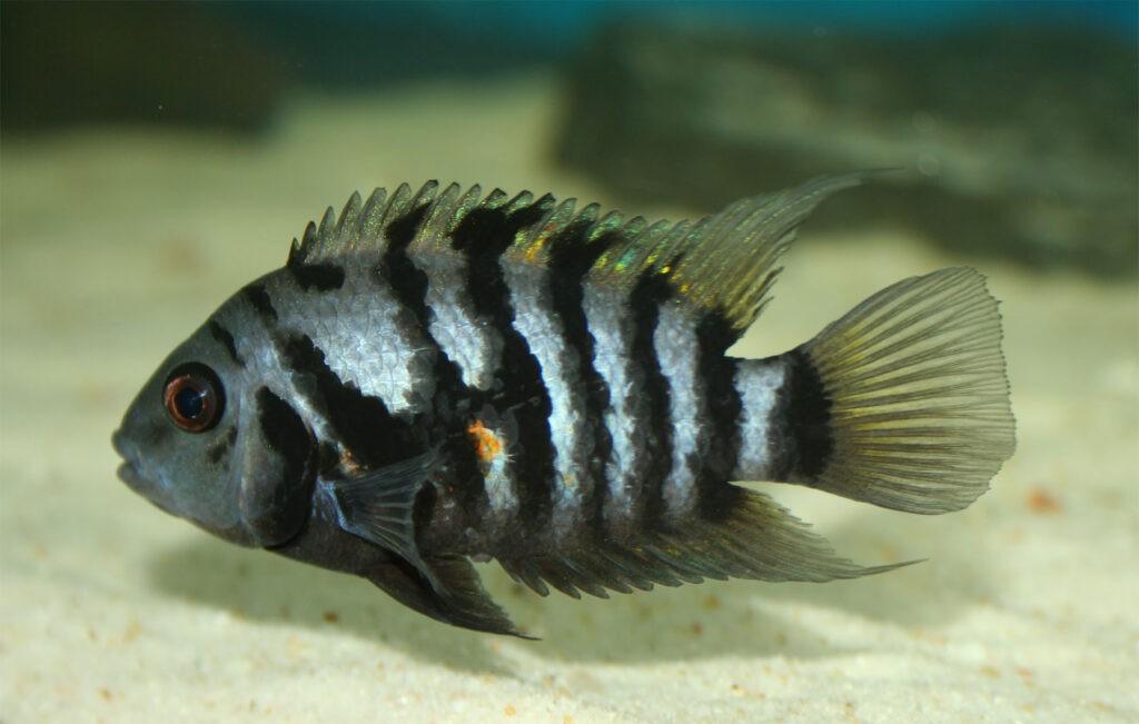 Zebrabuntbarsch