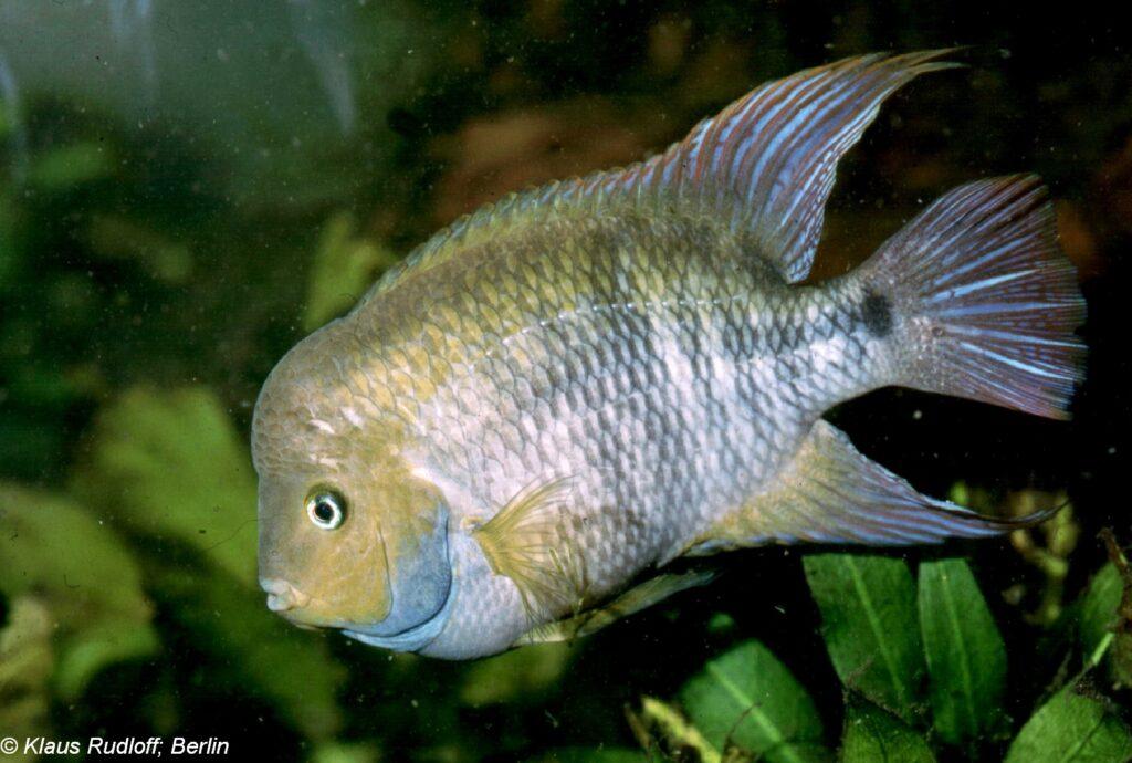Costa Rica Buntbarsch im Aquarium