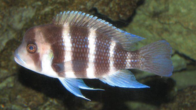Tanganjika-Beulenkopf