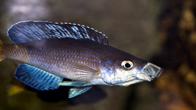 Cyprichromis_kitumba
