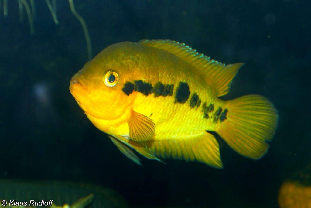 Regenbogenbuntbarsche im Aquarium
