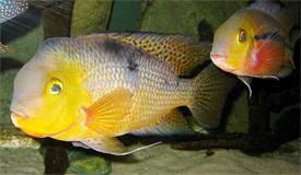 Nicaragua Buntbarsche im Aquarium
