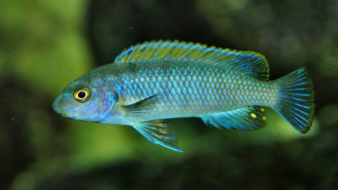 Gestreckter Schabemund-Buntbarsch im Aquarium