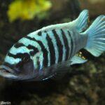 Pseudotropheus zebra | Blauer Malawibuntbarsch