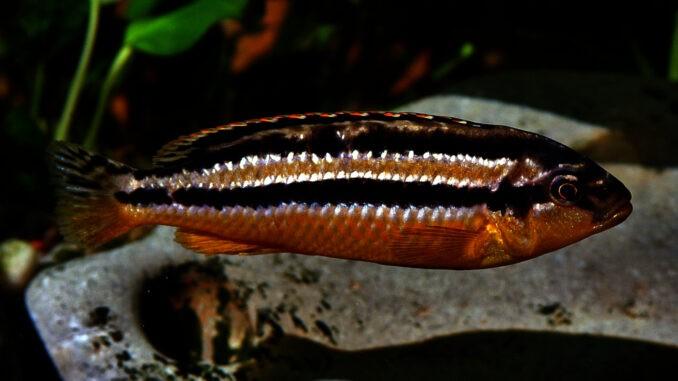 Türkisgoldbarsch Weibchen im Aquarium