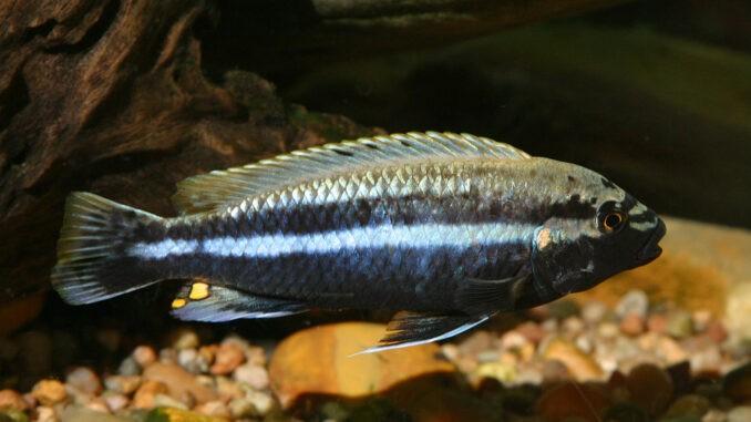 Türkisgoldbarsch Männchen im Aquarium