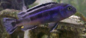 Kobaltorangebarsch im Aquarium
