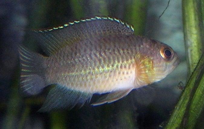 Glänzender Zwergbuntbarsch im Aquarium