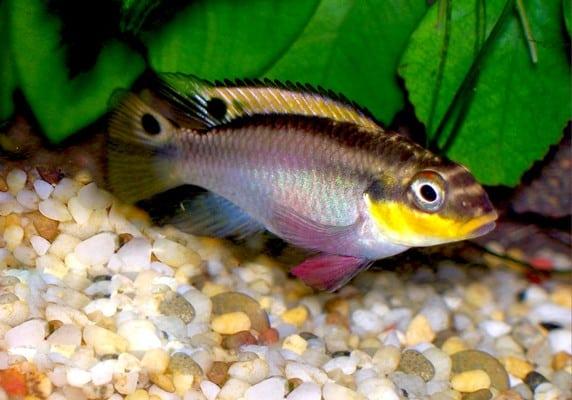 Smaragdprachtbarsche / Streifenprachtbarsche im Aquarium