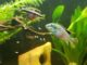 Purpurprachtbarsch mit Jungfischen