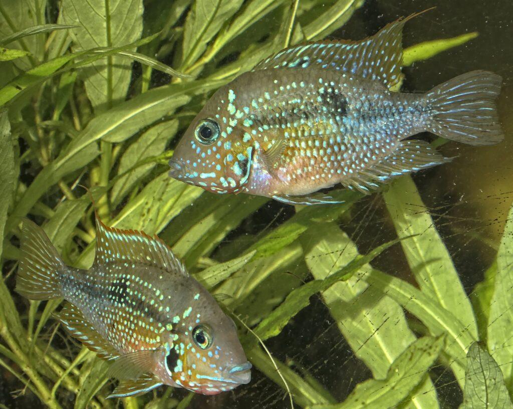 Elliots Buntbarsch im Aquarium