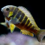 Tropheus Canary Cheek – Brabantbuntbarsch - Image 1 | © Fishtopia GmbH