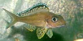 Xenotilapia im Aquarium