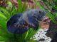 Pfauenaugenbuntbarsch
