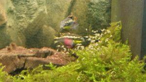 Purpurachtbarsche Jungfische