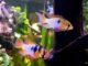 Schmetterlingsbuntbarsch im Aquarium