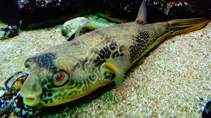 Riesenkugelfische im Aquarium