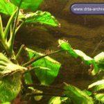 Pinselalgen im Aquarium