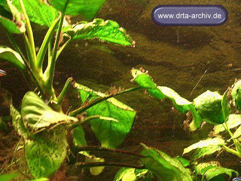 pinselalgen im aquarium ursache bek mpfung und entfernung. Black Bedroom Furniture Sets. Home Design Ideas