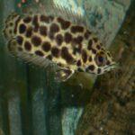 Leopard-Buschfische