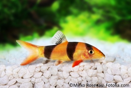 Aquarium Fische Süßwasser Liste : prachtschmerlen im aquarium alle infos eckdaten und details ~ Watch28wear.com Haus und Dekorationen