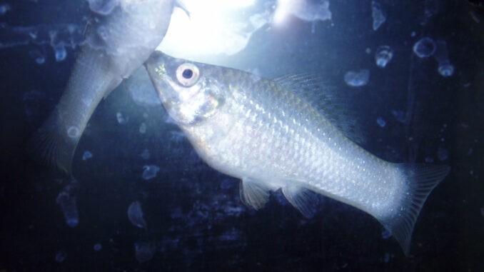 Silbermollys im Aquarium